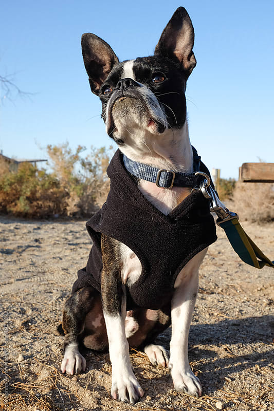 Bruce the Boston Terrier Pug camping by Shannon Aston for Stocksy United