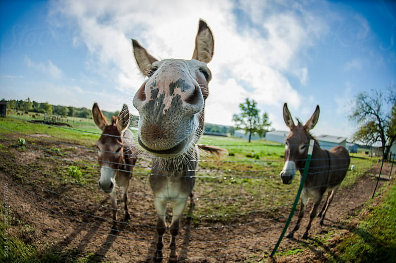 Animal Personalities: Smiling Proud Donkey by Jani Bryson for Stocksy United