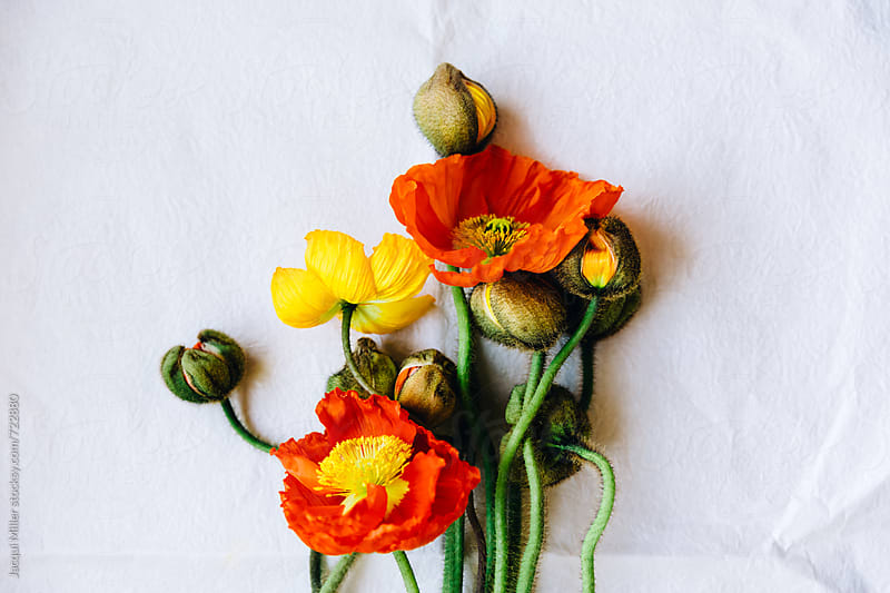 Orange and Yellow poppies on paper by Jacqui Miller for Stocksy United