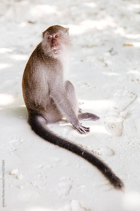 Calm monkey looking back and sitting on beach by Andrey Pavlov for Stocksy United