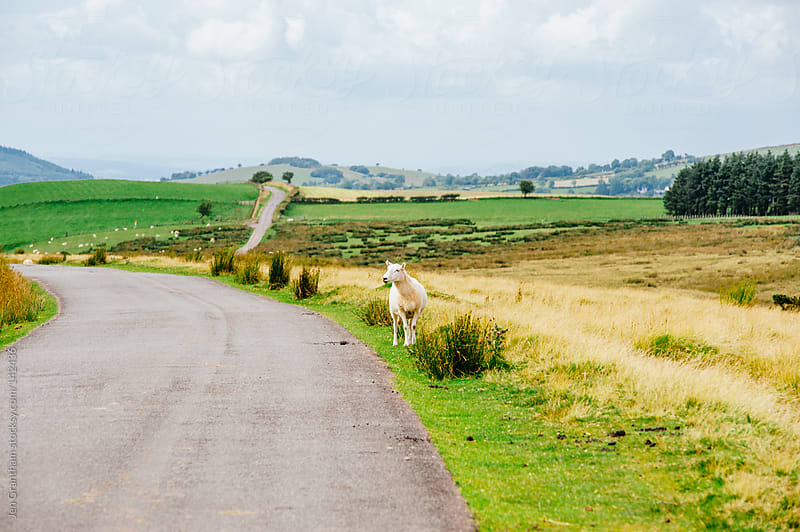 Sheep on the Road by Jen Grantham for Stocksy United