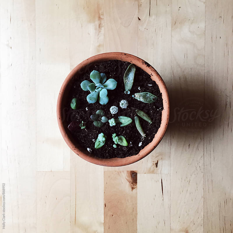 Freshly planted succulent babies by Holly Clark for Stocksy United
