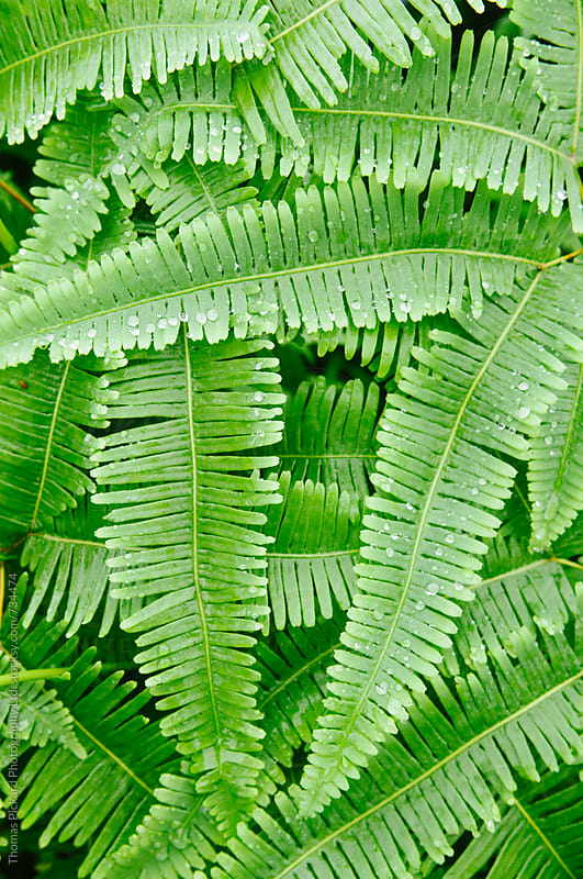 Green ferns with water drops, Samoa. by Thomas Pickard for Stocksy United