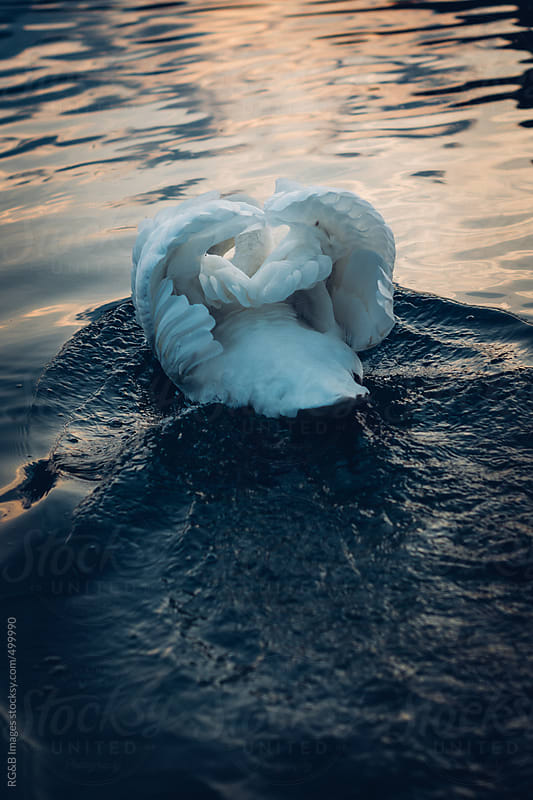 swan in the water  by RG&B Images for Stocksy United