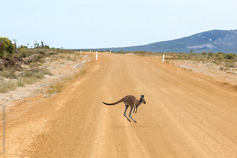 Baby kangaroo hopping over a dirt road. Western Australia. by John White for Stocksy United