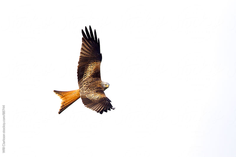 Red kite flying overhead watching by Will Clarkson for Stocksy United