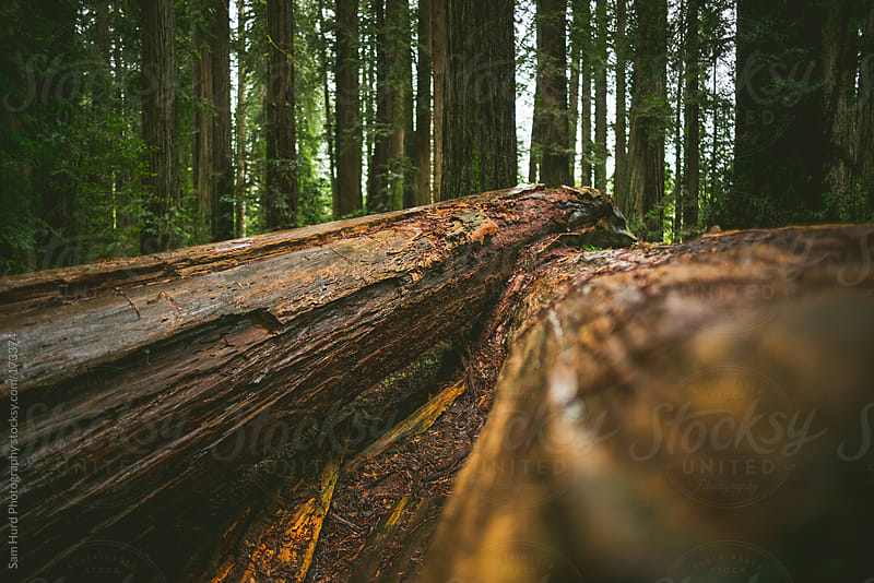 redwood trees by Sam Hurd Photography for Stocksy United