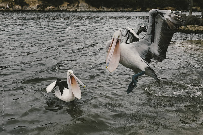 Two pelicans  by Gary Radler Photography for Stocksy United