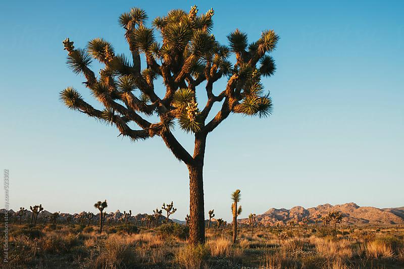 Joshua trees at dusk in the Mojave desert, Joshua Tree NP, CA, USA by Paul Edmondson for Stocksy United