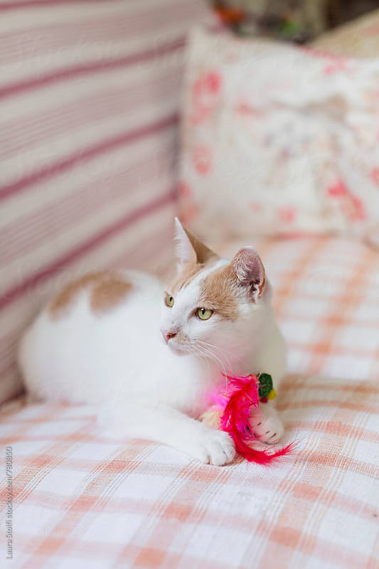 Cat grabbing feathery toy on sofa by Laura Stolfi for Stocksy United