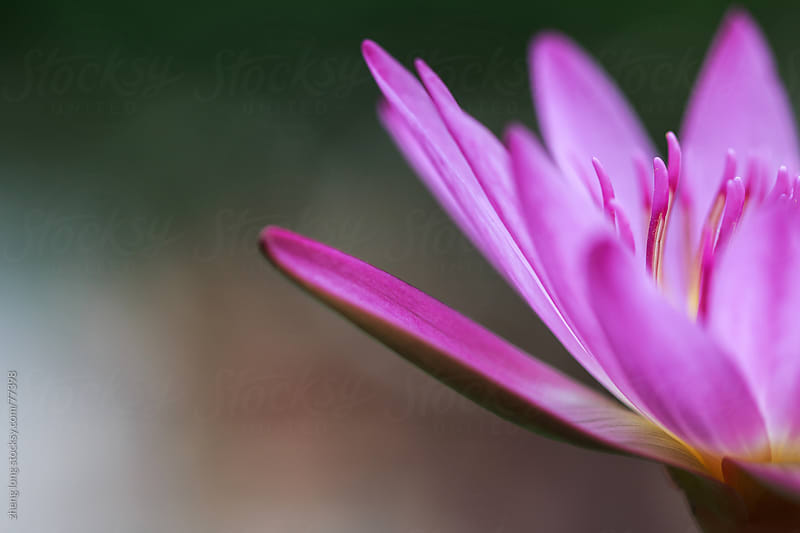 lotus of India by zheng long for Stocksy United