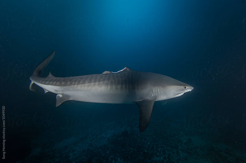 A tiger shark without dorsal fin by Song Heming for Stocksy United