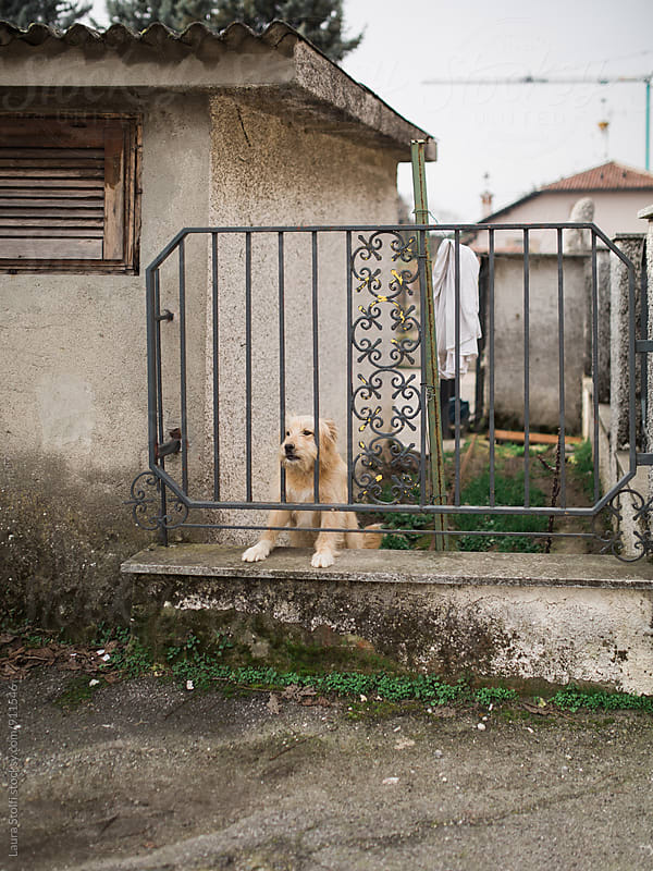 Blonde dog stabds behind iron fence in village street in Italy by Laura Stolfi for Stocksy United