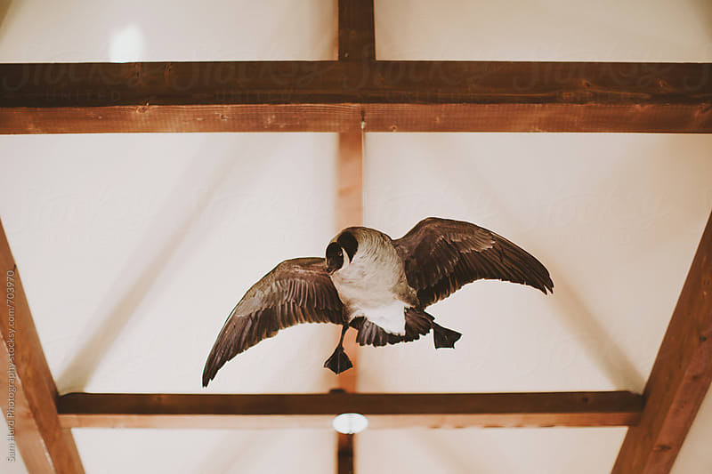 taxidermy goose by Sam Hurd Photography for Stocksy United
