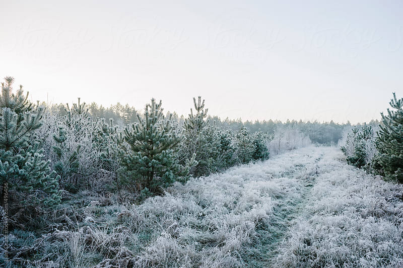 Footpath between frost covered trees. by Liam Grant for Stocksy United