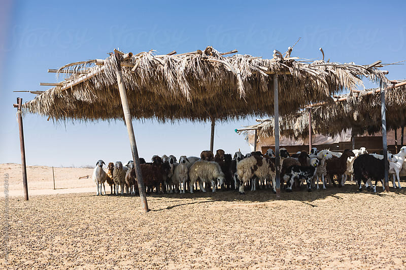 goat farm in the Desert,  United Arab Emirates by Mauro Grigollo for Stocksy United