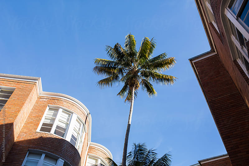 Palm tree between buildings by Reece McMillan for Stocksy United
