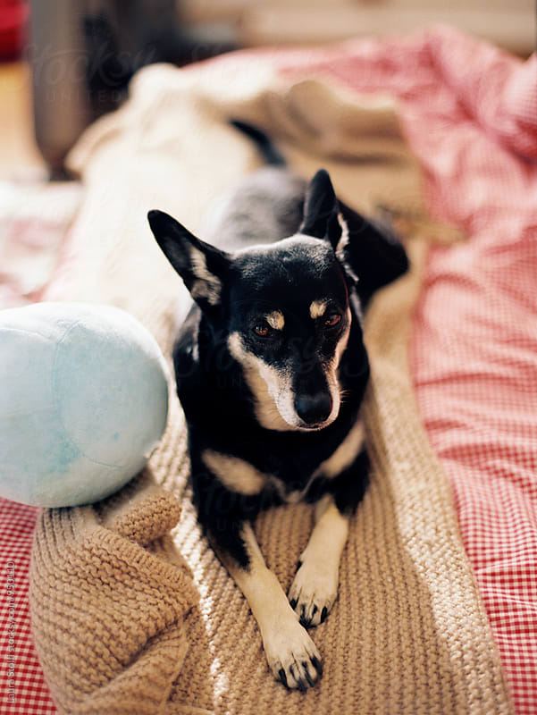 Little dog laying on unmade bed, film shot by Laura Stolfi for Stocksy United
