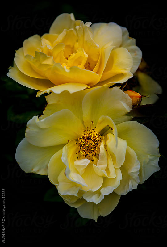wild yellow rose by ALAN SHAPIRO for Stocksy United