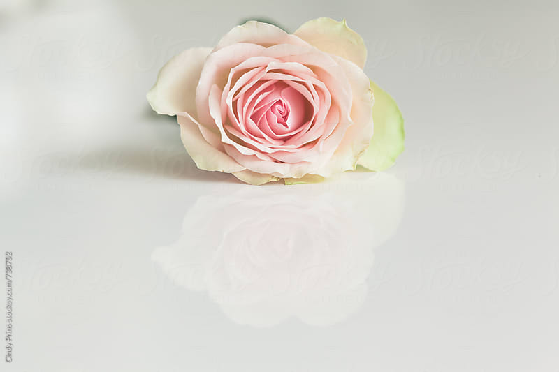 Single pink rose with a reflection on a  white table by Cindy Prins for Stocksy United