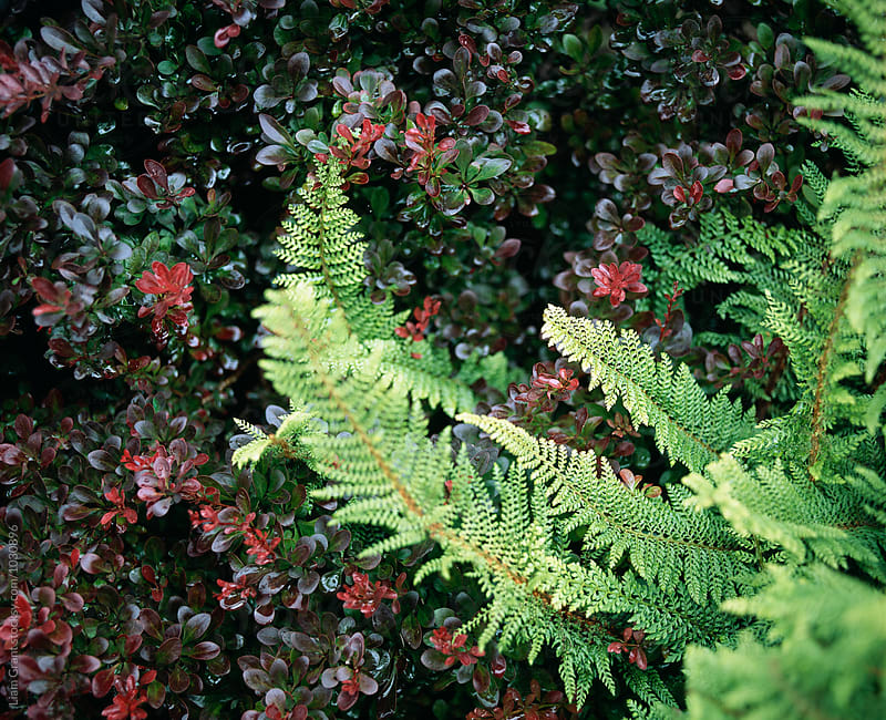 Fern growing in an english garden. UK. by Liam Grant for Stocksy United
