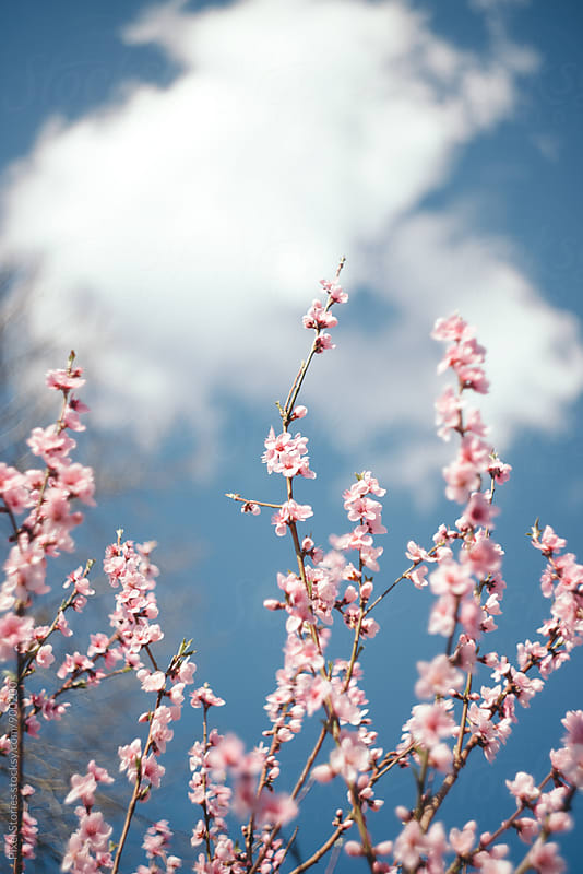 Blooming apricot tree branches by Pixel Stories for Stocksy United