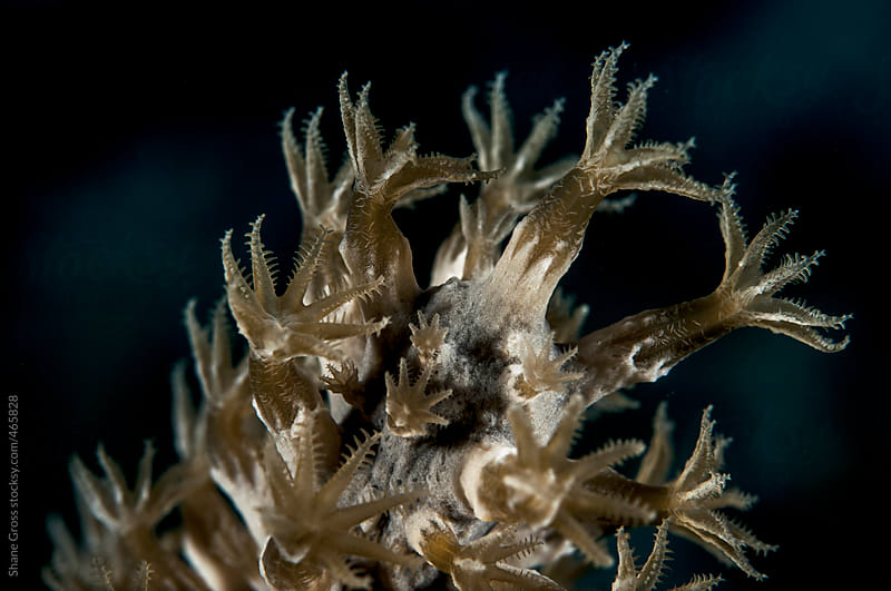 Black Sea Rod Coral Detail by Shane Gross for Stocksy United