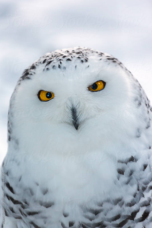 Snowy Owl by ALAN SHAPIRO for Stocksy United