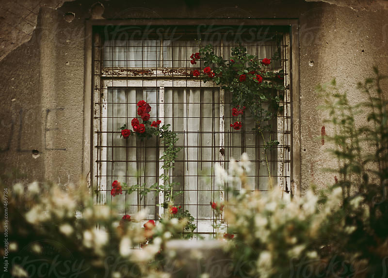 Red roses on a window in summer by Maja Topcagic for Stocksy United