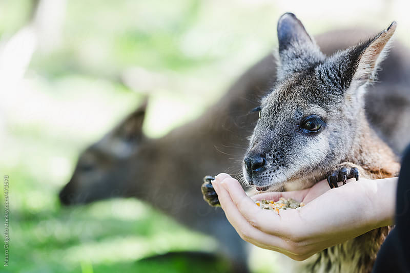 Feeding a Wallaby by Mauro Grigollo for Stocksy United