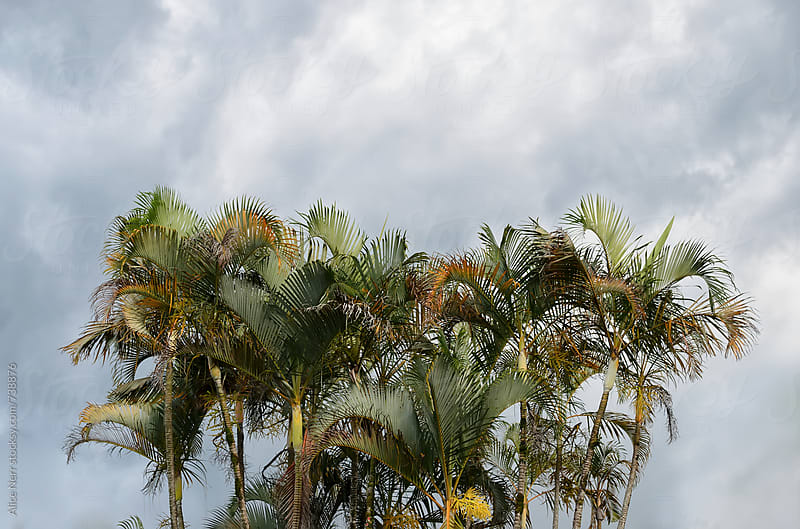 Bunch of palm trees and cloudy sky  by Alice Nerr for Stocksy United