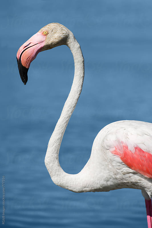 Closeup portrait of a pink flamingo standing in the water by RG&B Images for Stocksy United