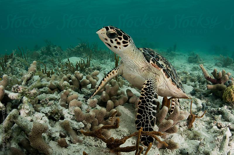 Hawksbill Sea Turtle by Shane Gross for Stocksy United