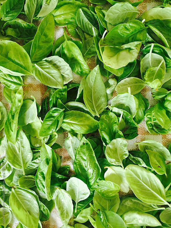 Green Basil on a Dishtowel by Good Vibrations Images for Stocksy United