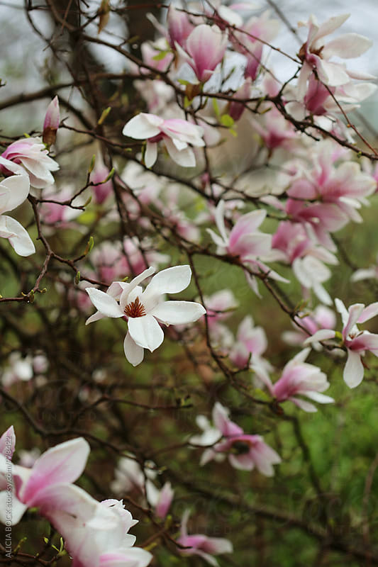 Magnolia Tree Flowers On A Rainy Spring Morning by ALICIA BOCK for Stocksy United