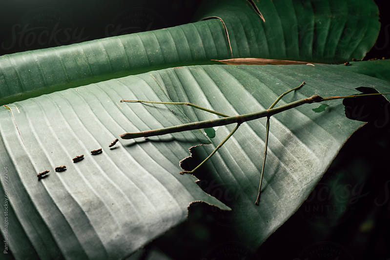 stick insect by Xunbin Pan for Stocksy United