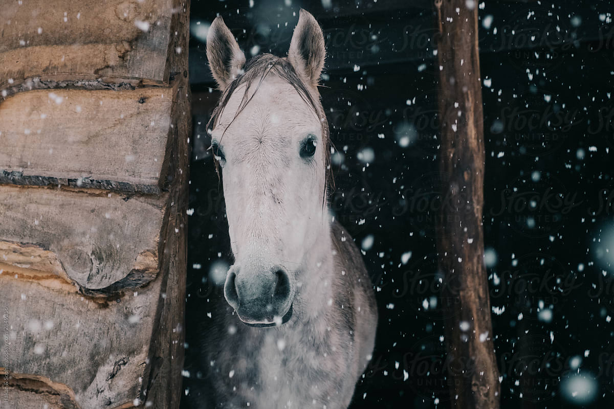 A Beautiful Horse Is Looking Out At The Falling Snow By Hakan Sophie Horse Snow Stocksy United