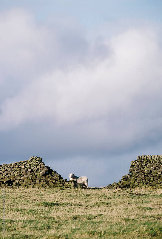 Sheep beside a drystone wall at sunset. Derbyshire, UK. by Liam Grant for Stocksy United