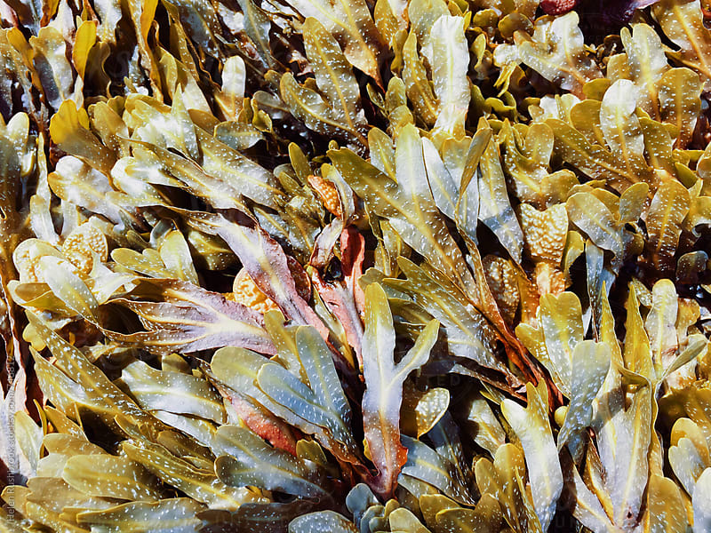 Multicoloured seaweed  by Helen Rushbrook for Stocksy United