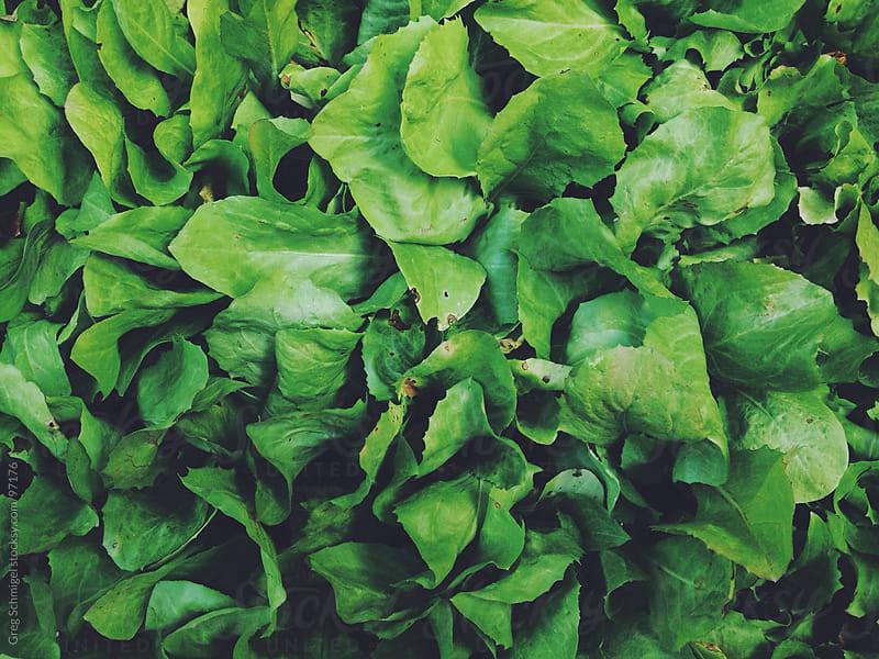 Fresh lettuce at a farmers market in Italy by Greg Schmigel for Stocksy United