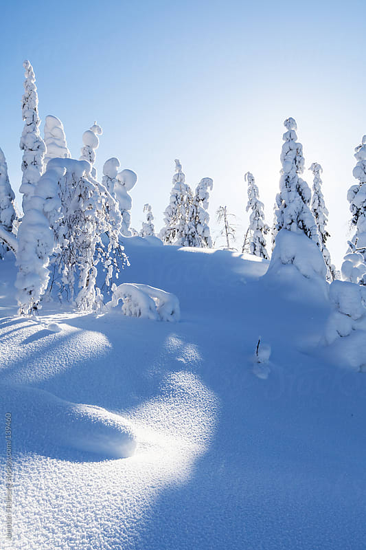 Snow covered pine trees by Jonatan Hedberg for Stocksy United