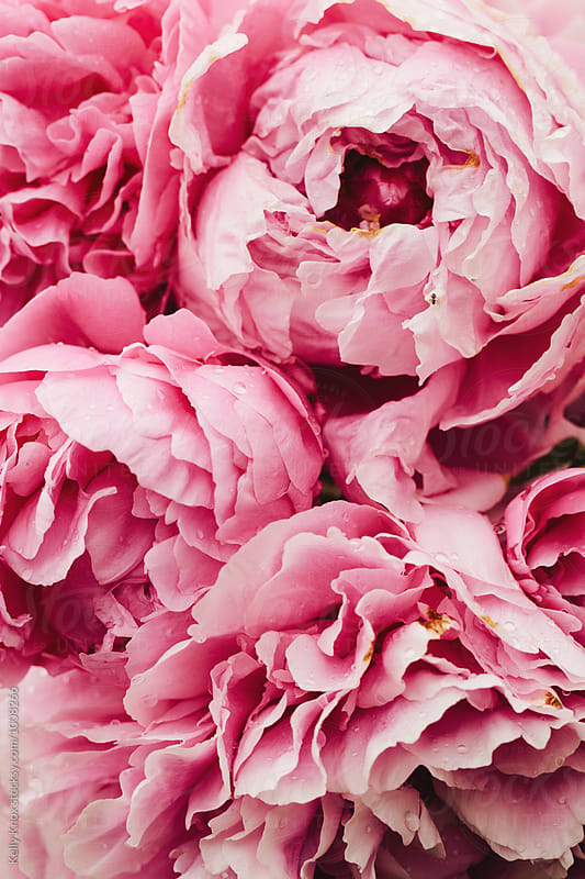 background of large pink peonies in a garden by Kelly Knox for Stocksy United