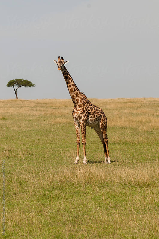 Giraffe in Masai Mara National Park by Marta Muñoz-Calero Calderon for Stocksy United