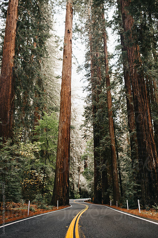 Road through the redwoods by Lukas Korynta for Stocksy United