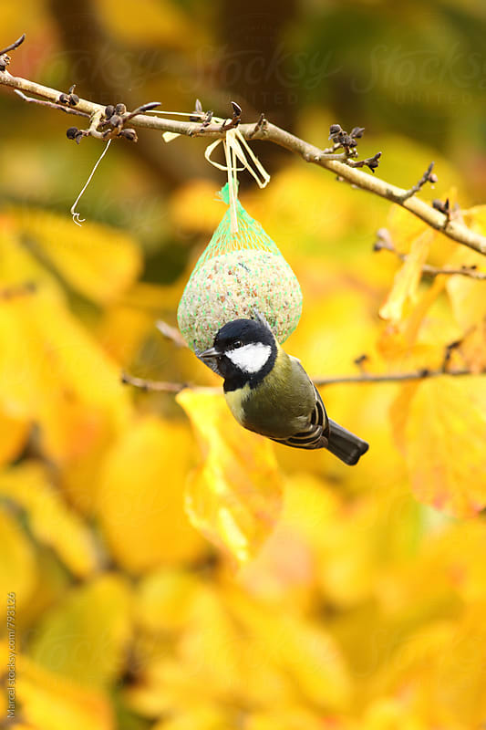 Great tit on fat ball in parrotia tree in fall by Marcel for Stocksy United