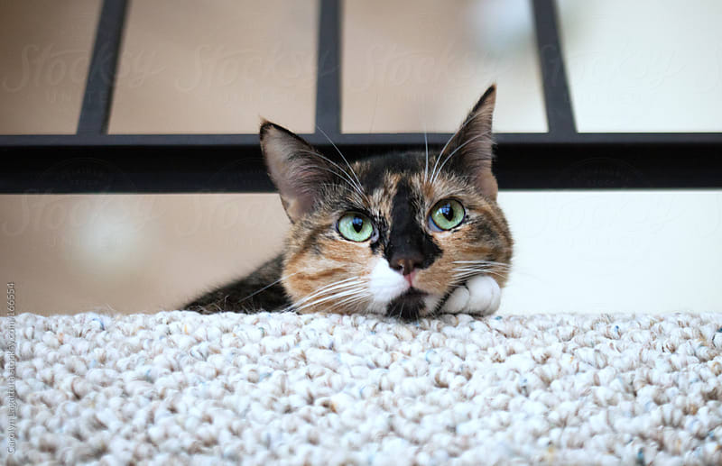 Tortoise shell/calico kitty laying down and looking out the window by Carolyn Lagattuta for Stocksy United