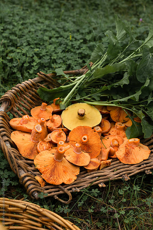 foraging for pine mushrooms, also known as mastutake or milky saffrons, these orange mushrooms are safe to eat and delicious by Gillian Vann for Stocksy United