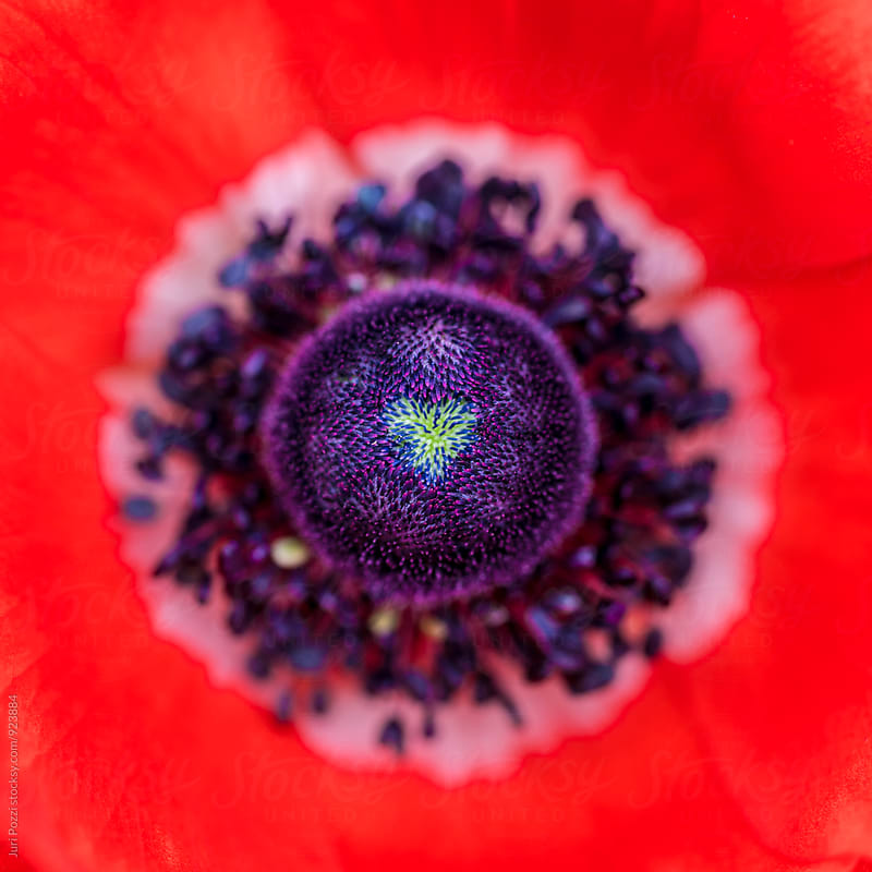 heart shaped pistil in a poppy flower by Juri Pozzi for Stocksy United