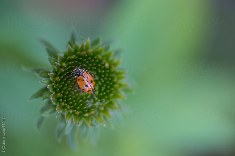 Ladybugs in the Garden Natural Pest Control by suzanne clements for Stocksy United