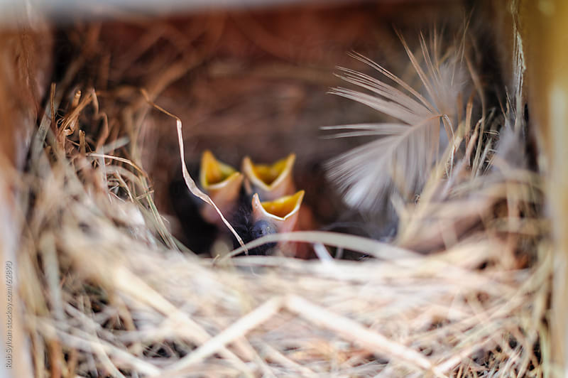 Baby Bluebird Chicks in Nest by Rob Sylvan for Stocksy United